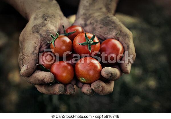Tomato harvest - csp15616746