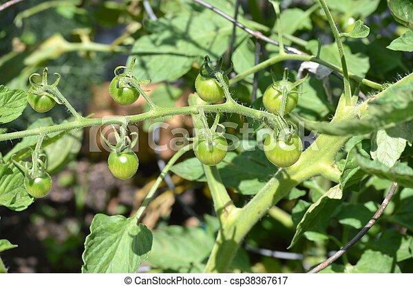 Tomato - csp38367617