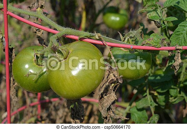 Tomato - csp50664170