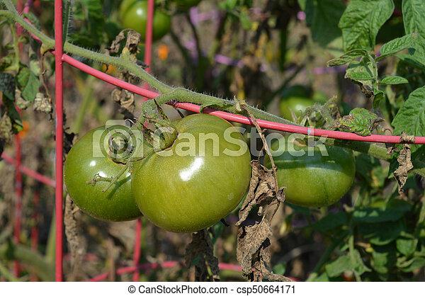 Tomato - csp50664171