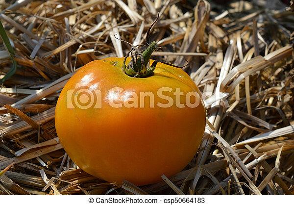 Tomato - csp50664183