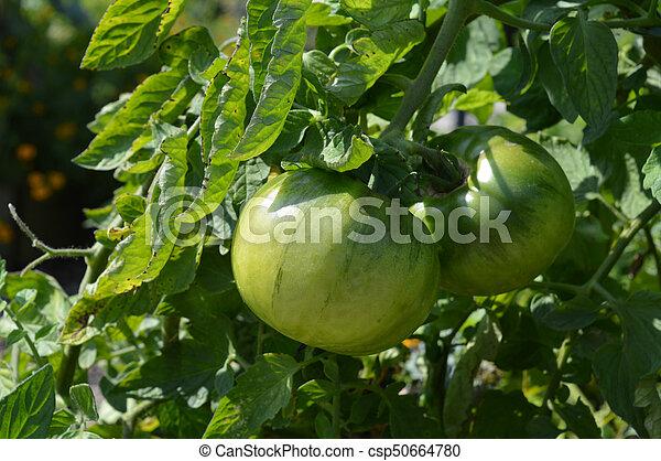 Tomato - csp50664780