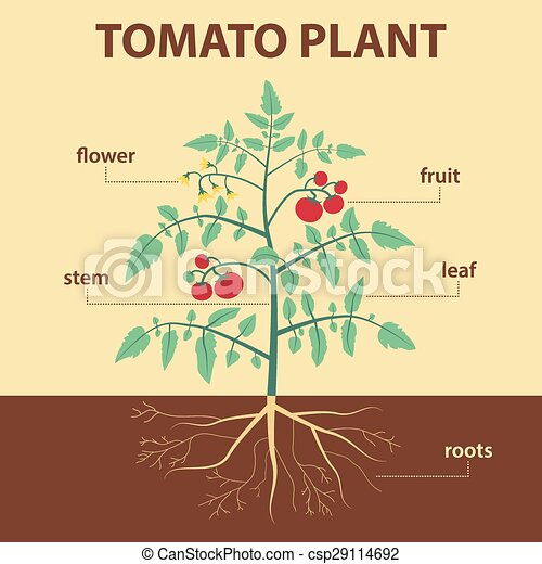 Tomato Plant Vector Illustration Showing Parts Of Tomato Whole