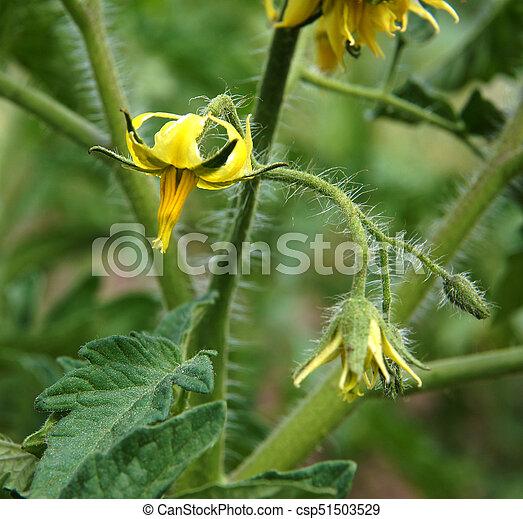 Tomato plant fragment with some yellow flowers stock photo search tomato plant fragment csp51503529 mightylinksfo Choice Image