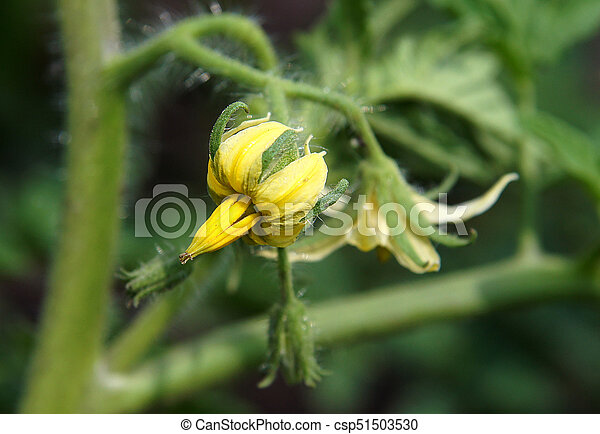 Tomato plant fragment with some yellow flowers tomato plant fragment csp51503530 mightylinksfo