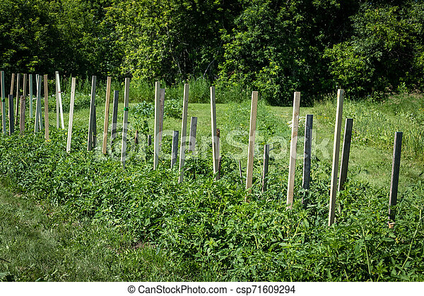 tomato plant growing in the field with wood support - csp71609294