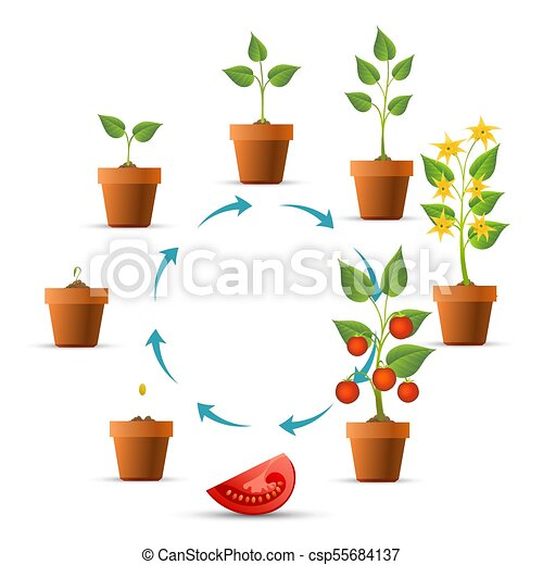 Tomato Plant Growth Stages Plant Growth Stages Tomato Growing
