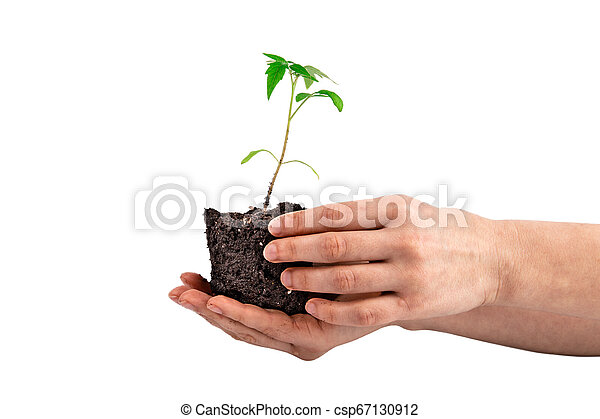 tomato plant in the hand isolated on white - csp67130912