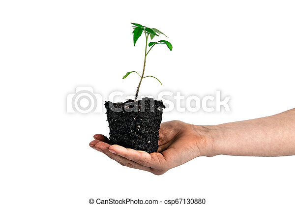 tomato plant in the hand isolated on white - csp67130880