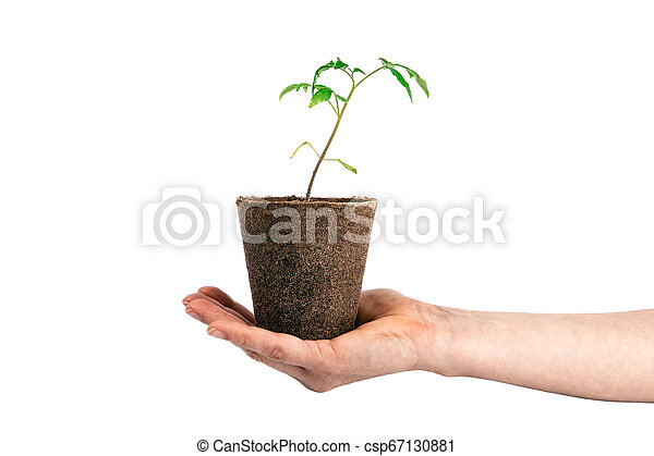 tomato plant in the hand isolated on white - csp67130881