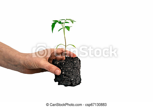 tomato plant in the hand isolated on white - csp67130883