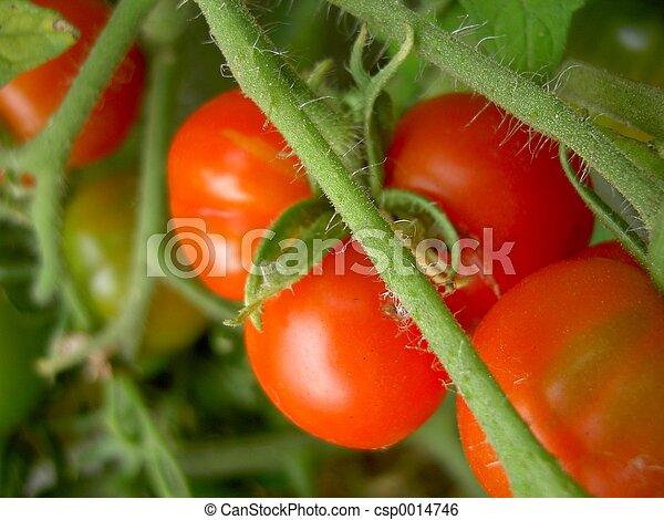 Tomato Plant - csp0014746