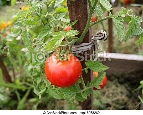 Tomato plant - csp16958269