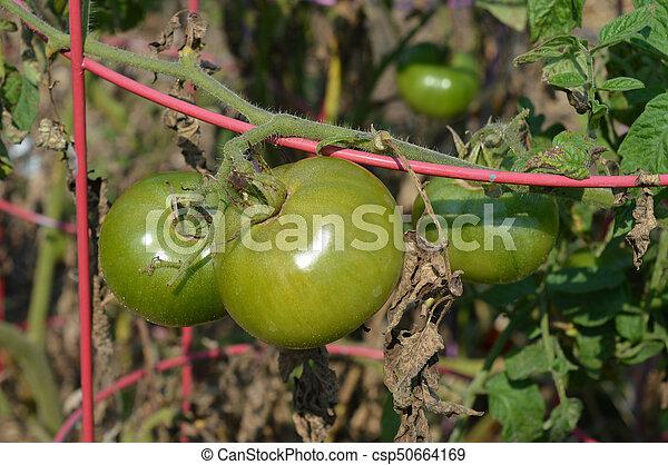 Tomato - csp50664169