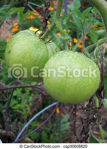 Tomato - csp30608820
