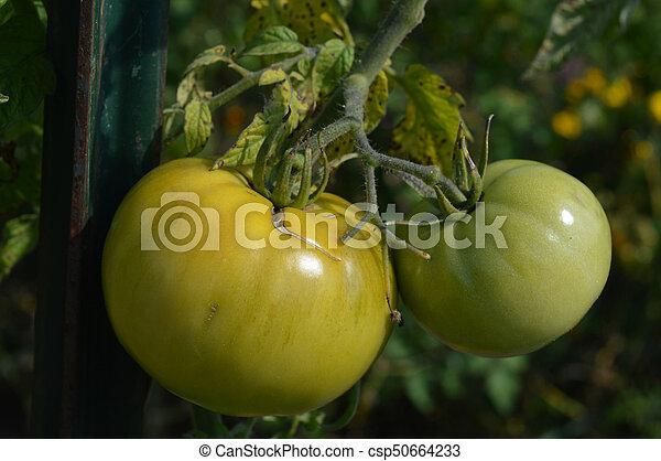 Tomato - csp50664233