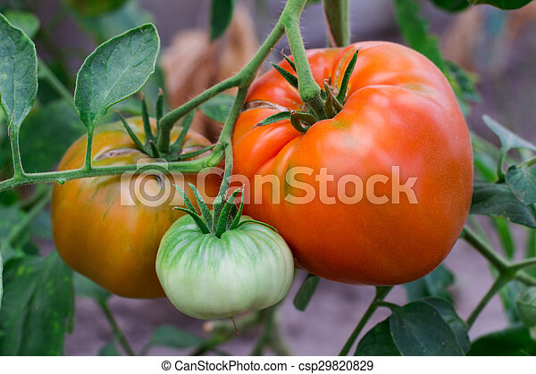 tomatoes on a branch - csp29820829