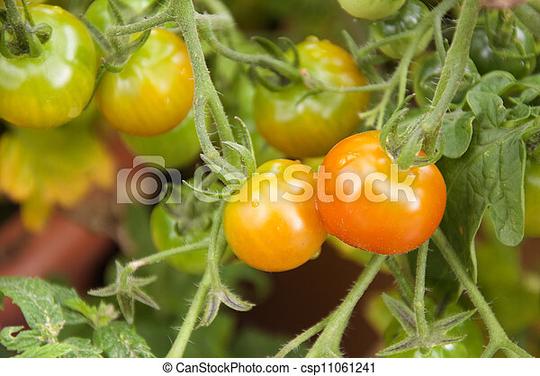 Tomatoes ripening in the garden - csp11061241