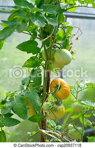 Tomatoes ripening in the greenhouse - csp20937118