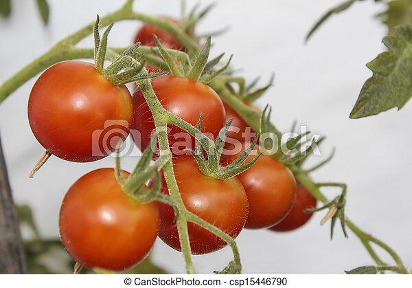 tomatoes - csp15446790