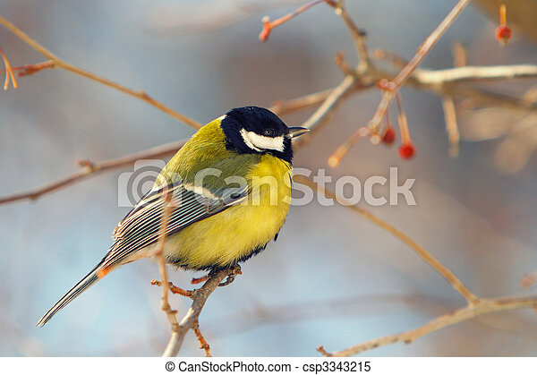 tomtit perched on a branch - csp3343215
