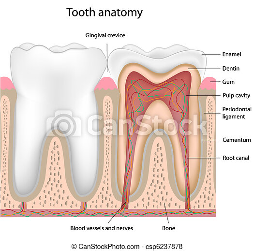 Tooth Anatomy Cross Section Of A Human Tooth Eps8