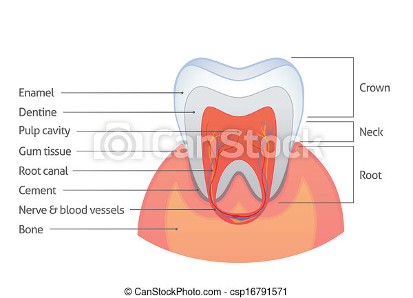 Tooth anatomy - csp16791571