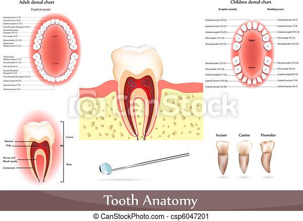 Tooth anatomy - csp6047201