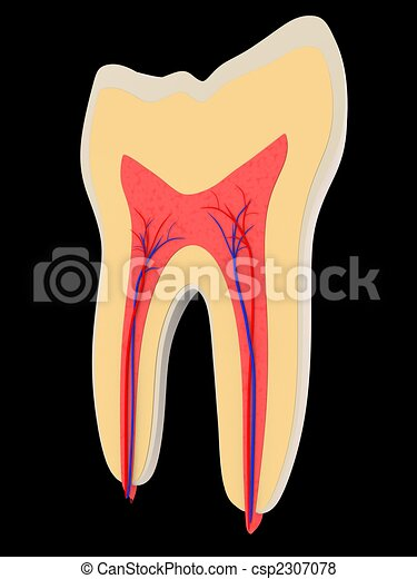 tooth - cross section - csp2307078