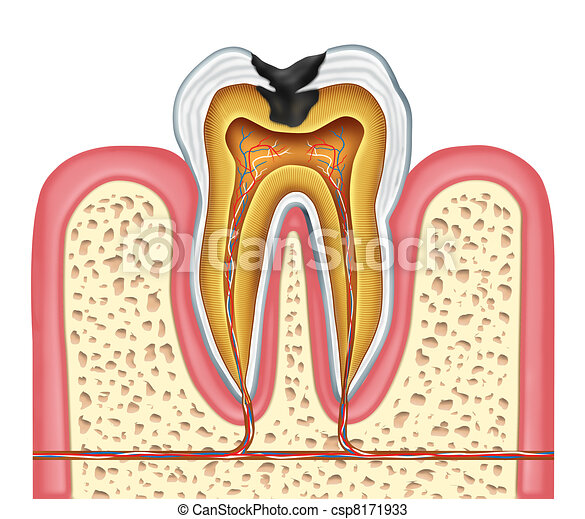 Tooth Inner Anatomy Of A Cavity Tooth Inner Anatomy Diagram