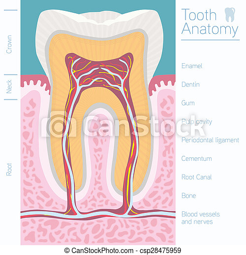 tooth medical anatomy with words - csp28475959