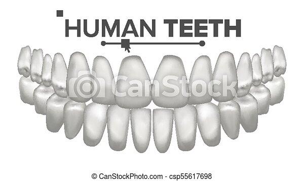 Tooth Mouth Anatomy Vector Human Teeth Healthy White Teeth