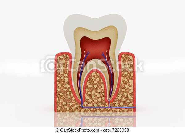 tooth structure - csp17268058