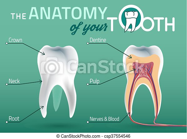 Tooth Vector Anatomy Human Tooth Dental Infographic Vector Eps