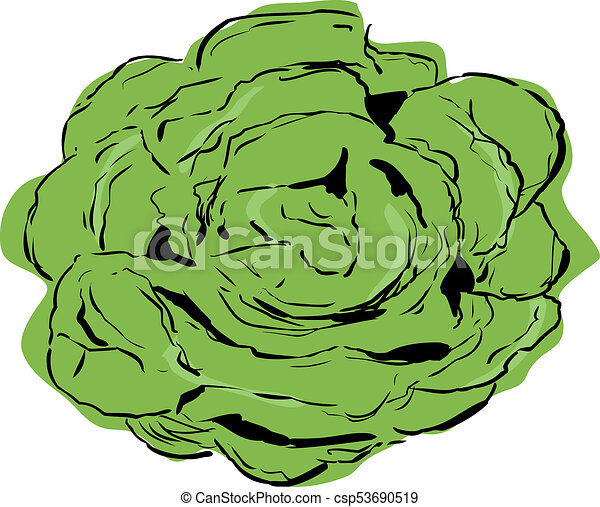 top down view on bibb lettuce top down view on large open rh canstockphoto com romaine lettuce clipart lettuce clipart