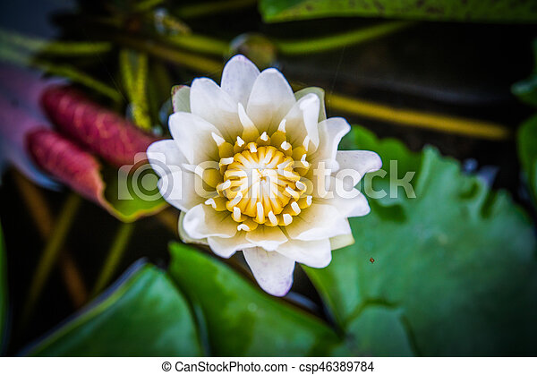 Top View Closeup White Lotus Flowers Bloom In The Water