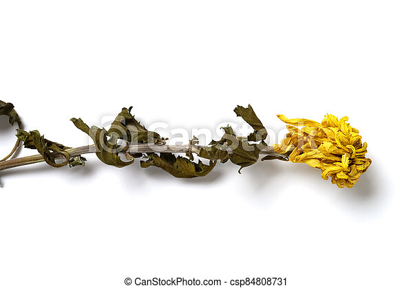 top view faded yellow chrysanthemum flower on white background - csp84808731