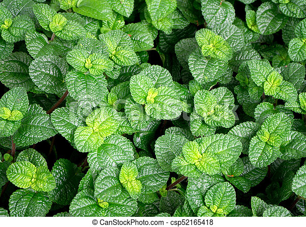 Top view of peppermint leaves background - csp52165418