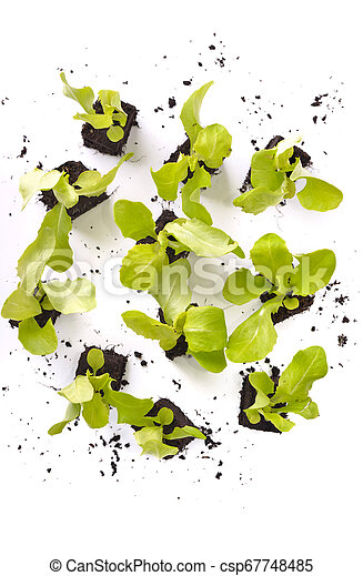 top view on leaf of lettuce seedlings in dirt on white background - csp67748485
