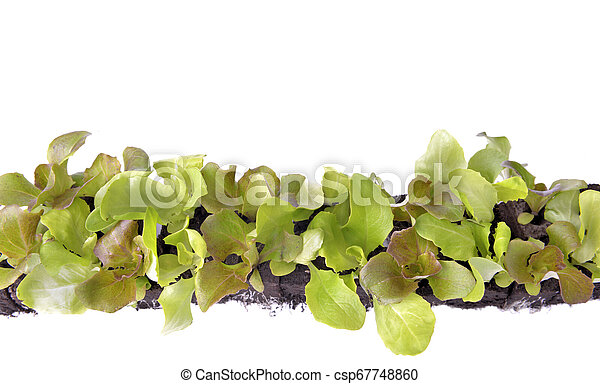top view on leaf of lettuce seedlings in dirt on white background - csp67748860