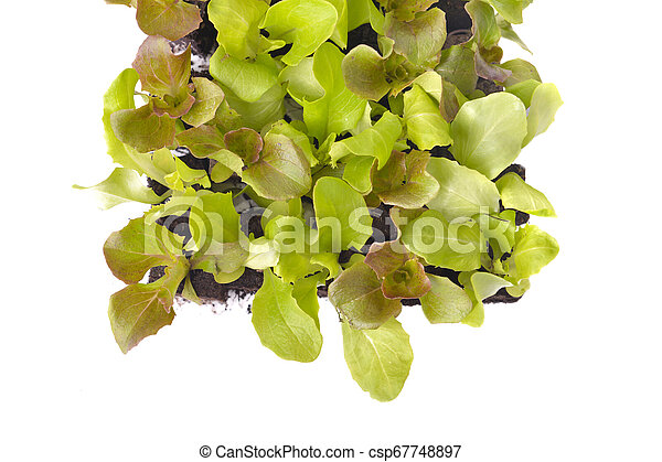 top view on leaf of lettuce seedlings in square on white background - csp67748897