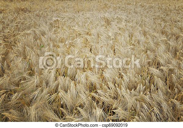 top view on textured field of grain - csp69092019