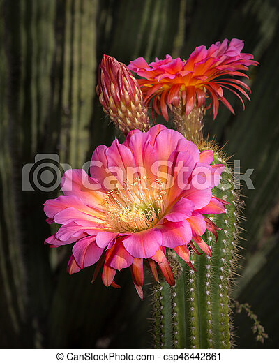 Torch cactus bloom large pink flowers colorful plants stock torch cactus bloom large pink flowers csp48442861 mightylinksfo