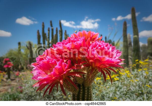 Torch cactus bloom large pink flowers colorful plants stock torch cactus bloom large pink flowers csp48442865 mightylinksfo