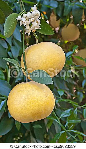 Cerca de pomelo con flor - csp9623259