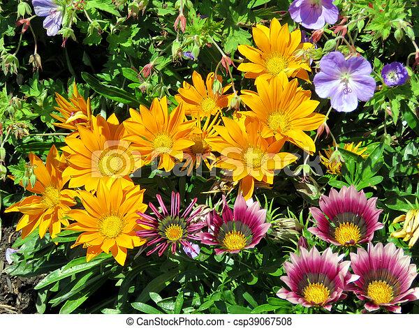Toronto Lake orange and purple daisies - csp39067508