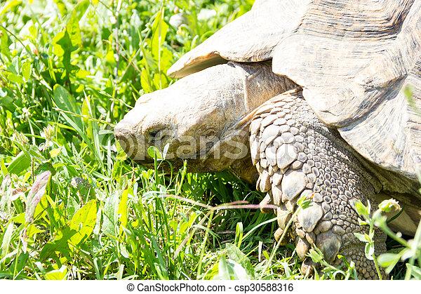Tortoise - csp30588316
