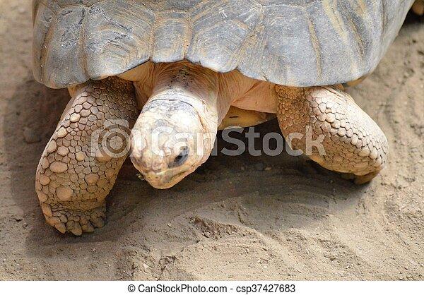 Tortoise - csp37427683