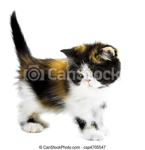 Tortoiseshell persian cat - csp4705547
