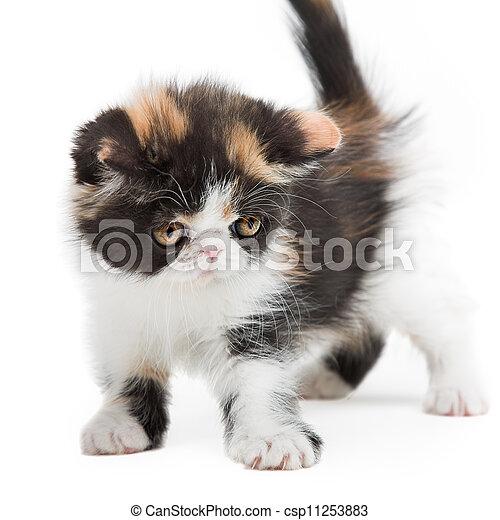 Tortoiseshell persian cat - csp11253883